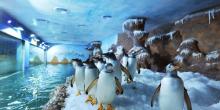 Du lịch Phú Quốc hè 2015 xem màn trình diễn của chim cánh cụt Gentoo