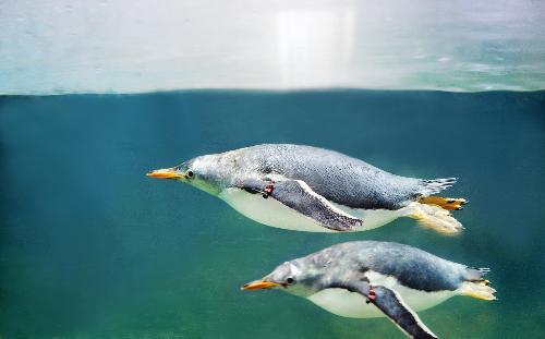 """Chim cánh cụt Gentoo được mệnh danh là """"vua tốc độ"""""""