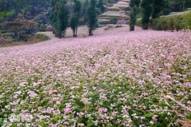 Rực rỡ sắc hoa tam giác mạch Hà Giang