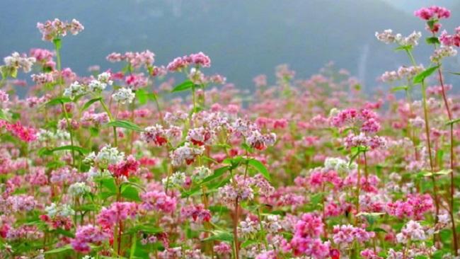 Hoa tam giác mạch rực rỡ màu tím hồng