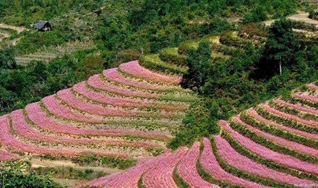 Hoa tam giác mạch len lỏi quanh các sườn đồi