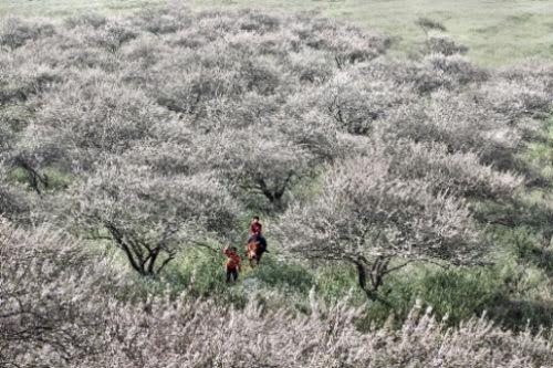 Mộc Châu mùa hoa đào hoa mận